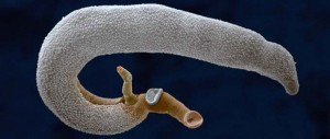 Hogyan nyilvánulnak meg a helminták az emberekben - Skarlát parazita kezelés