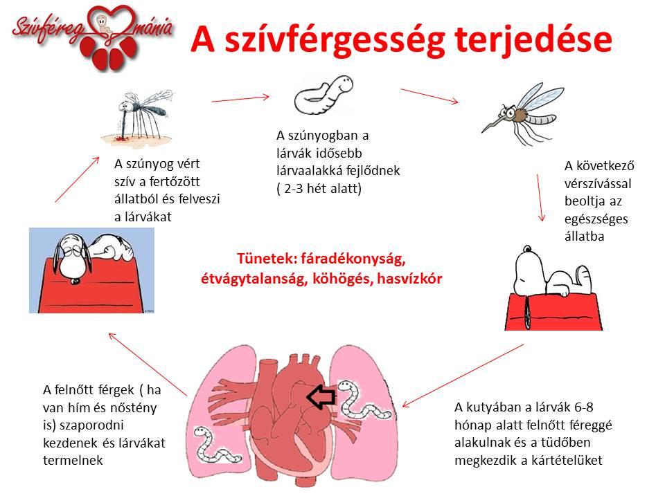 Mindent a szívférgességről – Szívféregmásergiopizza.hu