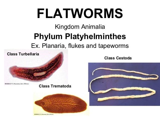 Taxonómia phylum platyhelminthes, Fonálférgek – Wikipédia