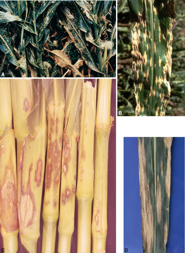 helminthosporium sacchari giardia bejelentendő uk