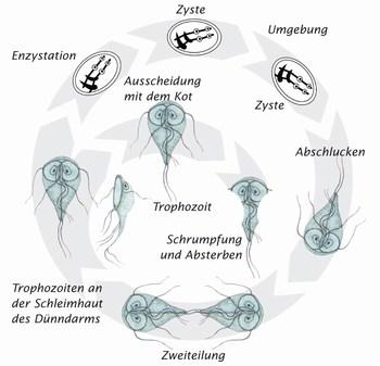 Giardia zyste Hogyan lehet megszabadítani a férgektől az embereket, Giardia parasit hund