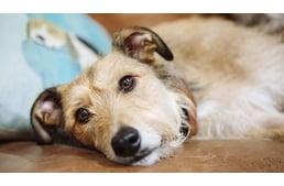 giardia kutyák tünete
