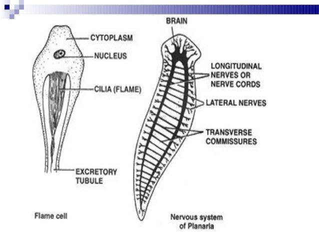 Phylum platyhelminthes diagram, Gyógyszerek a gyermekek parazitáinak megelőzésére