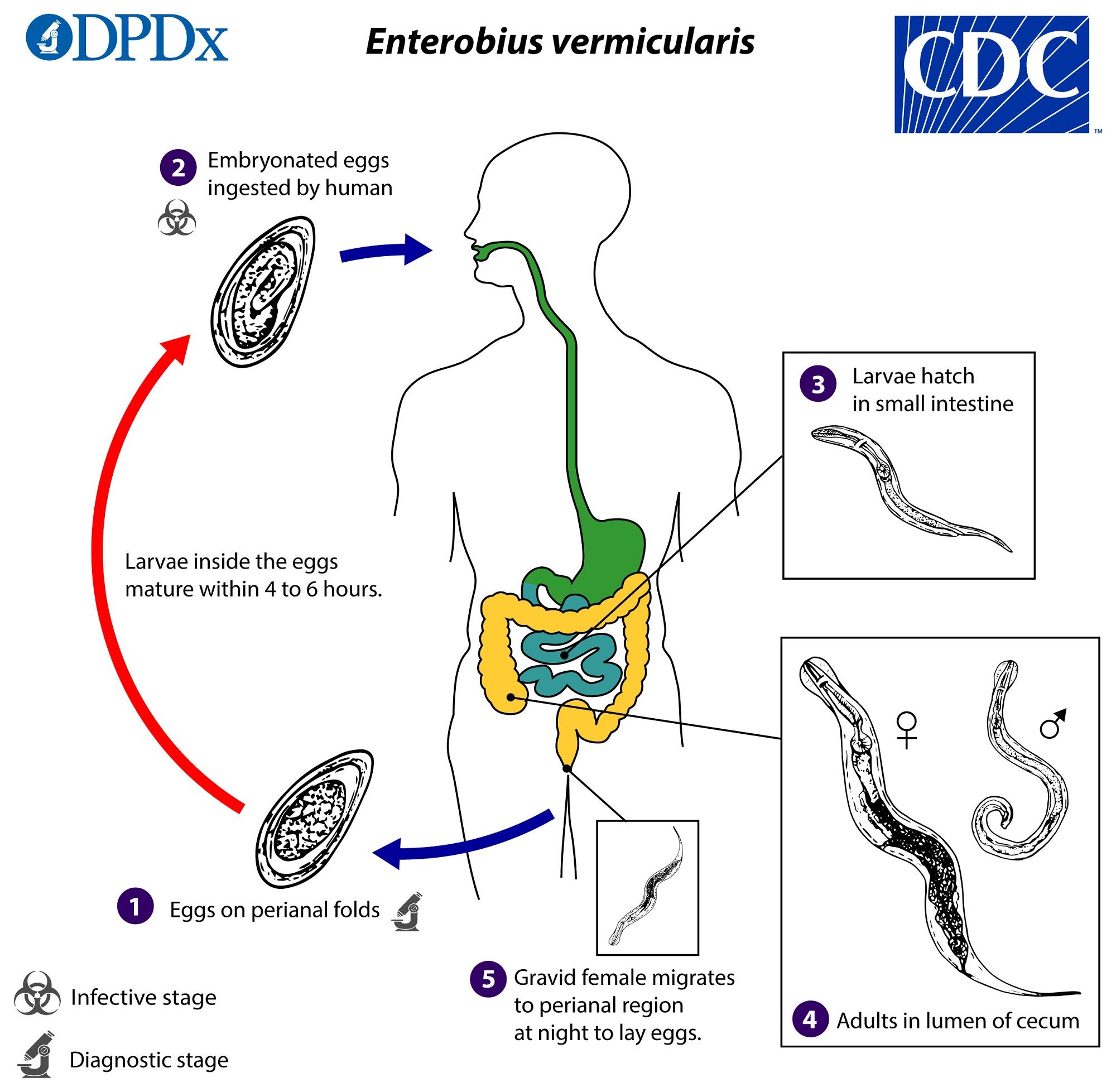 enterobius vermicularis yumurtalari papilloma vírus elleni vakcina fiúknál