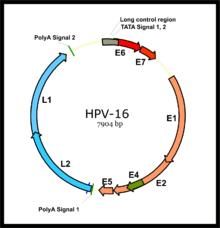 papillomavírus hpv 66
