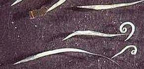 helminták parazita férgek és meggyógyítja a férgeket