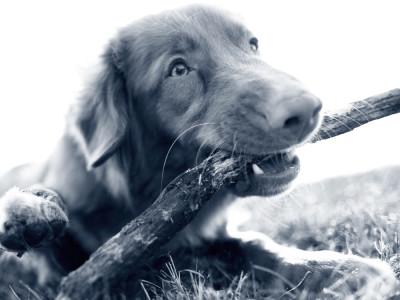 giardia hond bestrijden