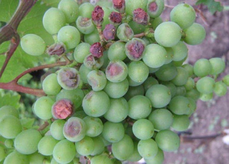 Hogyan szedtem le a bakteriális rákot a szőlőn ... antibiotikumok segítségével!