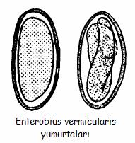 enterobius vermicularis yumurtalari hogyan jelennek meg a szemölcsök?