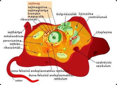hpv és hólyagfertőzések giardia zoonoza