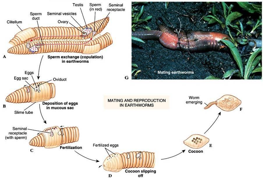 Filum platyhelminthes és nemathelminthes, Édesvízi gerinctelen állatismeret