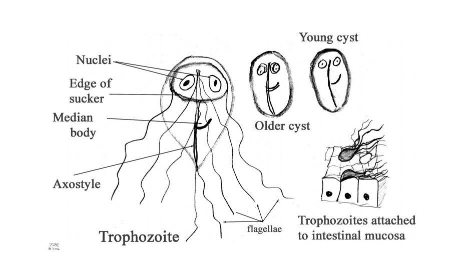 a giardia életciklusa