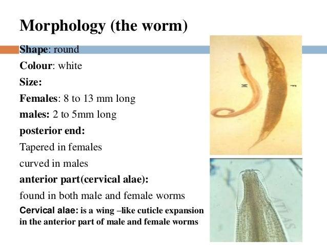 az enterobius vermicularis életciklusa diagrammal papilláris elváltozás jelentése