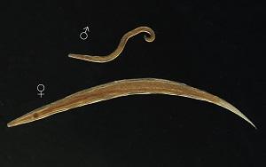 enterobius vermicularis ülő féreg