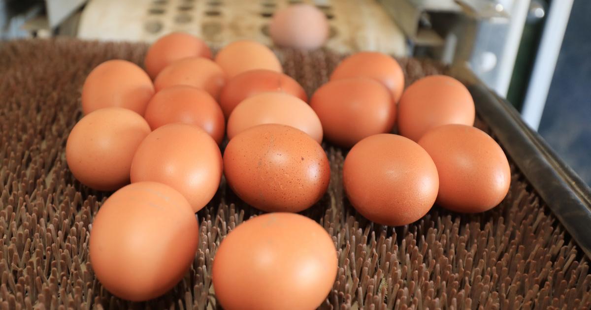 hogyan kell tojást rakni giardia aranyos
