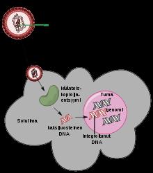 potenciálisan onkogén humán genitális papillomavírusok