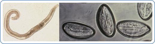 pinworm betegség