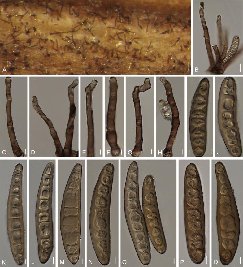 helminthosporium sacchari féreghajtó szerek osztályozása